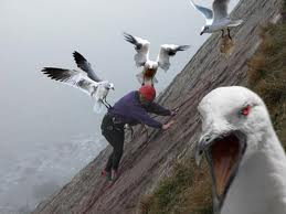 seagull cawing